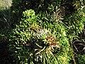 Starr-110331-4354-Juniperus chinensis-Kaizuka needles-Shibuya Farm Kula-Maui (24450950164).jpg