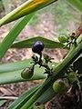 Starr-110411-5026-Dianella sandwicensis-fruit form lavarum-Hawea Pl Olinda-Maui (24451951784).jpg