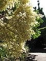 Starr-120120-1802-Ficus benjamina-backlit variegated leaves-Enchanting Floral Gardens of Kula-Maui (24501968754).jpg