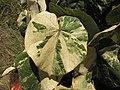 Starr-120614-7427-Hibiscus tiliaceus-variegated leaves-Waihee Coastal Preserve-Maui (24518817913).jpg