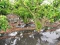 Starr-120620-7526-Jatropha curcas-Biofuel plantings-Kula Agriculture Park-Maui (25145849595).jpg