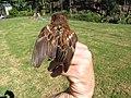Starr-130602-4667-Cenchrus clandestinus-habitat with juvenile baby House Sparrow in hand-Hawea Pl Olinda-Maui (25093116032).jpg