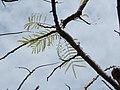 Starr-140222-0396-Colvillea racemosa-few leaves-Hana-Maui (25240659195).jpg