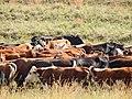 Starr-141229-3221-Andropogon virginicus-habit with cows-Hoku Nui Piiholo-Maui (25131962262).jpg