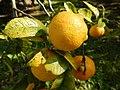 Starr-150112-3404-Citrus limonia-fruit-Hawea Pl Olinda-Maui (24896774539).jpg