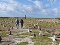 Starr-150328-0555-Coronopus didymus-Kim Penny and Laysan Albatrosses-Eastern Island-Midway Atoll (25242465966).jpg