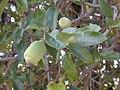 Starr 001228-0133 Ficus pumila.jpg