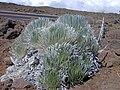 Starr 011009-0036 Argyroxiphium sandwicense subsp. macrocephalum.jpg