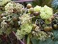 Starr 030530-0034 Ricinus communis.jpg