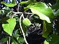 Starr 040105-0092 Croton guatemalensis.jpg