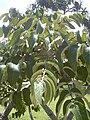 Starr 040318-0027 Munroidendron racemosum.jpg