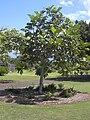 Starr 040318-0061 Artocarpus altilis.jpg