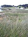 Starr 040410-0210 Cyperus laevigatus.jpg