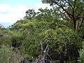 Starr 040527-0033 Canavalia pubescens.jpg