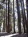 Starr 040812-0073 Araucaria columnaris.jpg