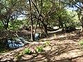 Starr 050414-6339 Casuarina equisetifolia.jpg