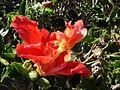 Starr 061223-2686 Hibiscus rosa-sinensis.jpg
