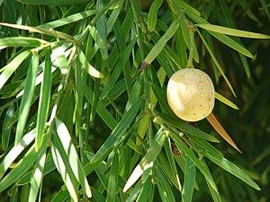 Afrocarpus gracilior - Afrocarpus gracilior cone and foliage.