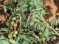 Starr 070124-3923 Solanum lycopersicum var. cerasiforme.jpg