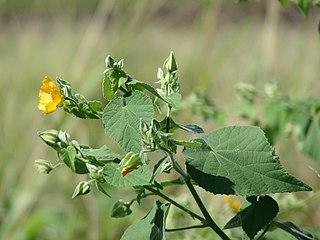 <i>Abutilon grandifolium</i> species of plant