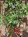 Starr 070228-4907 Solanum seaforthianum.jpg