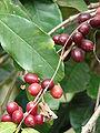 Starr 070617-7330 Coffea arabica.jpg