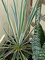 Starr 070906-9016 Yucca filamentosa.jpg