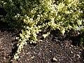 Starr 080219-2889 Helichrysum petiolare.jpg