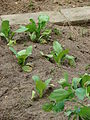 Starr 080531-4960 Brassica campestris var. chinensis.jpg
