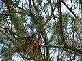 Starr 080601-5180 Casuarina equisetifolia.jpg