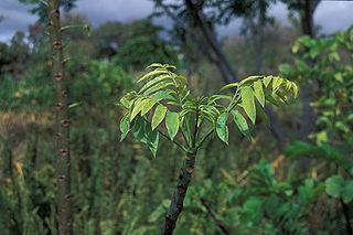 <i>Spondias dulcis</i> species of plant