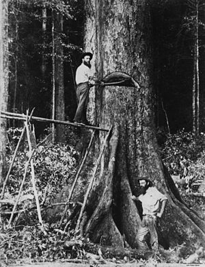Felling - Two fellers felling a tree on the Atherton Tableland, Queensland, Australia, 1890-1900. Image: State Library of Queensland