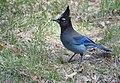 Steller's Jay (33981065756).jpg