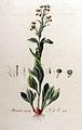 Stenactis annua — Flora Batava — Volume v9.jpg