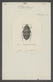 Stenotarsia - Print - Iconographia Zoologica - Special Collections University of Amsterdam - UBAINV0274 022 05 0002.tif