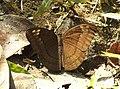 Streaked Baron Euthalia alpheda jama by Dr. Raju Kasambe DSCN2397 (12).jpg