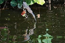 Striated Heron - AndrewMercer - DSC10464.jpg