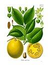 Strychnos ignatii - Köhler–s Medizinal-Pflanzen-132.jpg