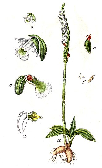 Spiranthes spiralis - Etching by Jacob Sturm. The suggested root hairs in reality are not present