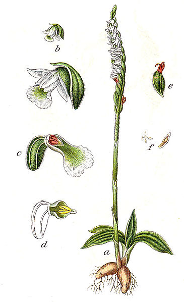 spiranthes_spiralis_1