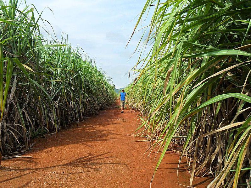 how to make sugar cane farm