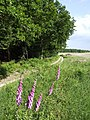 Summer on Egdon Heath - geograph.org.uk - 460579.jpg