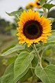 "Sunflower ""Tiffany"" (6187019899).jpg"