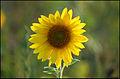 Sunflower (4866452751).jpg