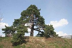 Svídnická borovice.jpg