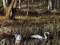 Swans And Nest - Swan Making Nest - panoramio.jpg