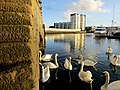 Swans Swimming in Sutton Harbour, Plymouth.jpg