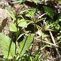 Swertia perennis subsp. cuspidata (bud s2).jpg