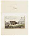 Synotus barbastellus - 1700-1880 - Print - Iconographia Zoologica - Special Collections University of Amsterdam - UBA01 IZ20800097.tif