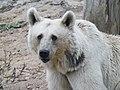 Syrian brown bear 06.jpg